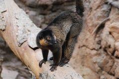 Κόκκινος πιαμένος κερκοπίθηκος σε έναν πεσμένο κλάδο δέντρων Στοκ Φωτογραφίες