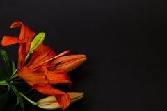 Κόκκινος, πορτοκαλής κρίνος Στοκ Εικόνες