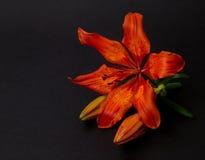 Κόκκινος, πορτοκαλής κρίνος Στοκ Φωτογραφία