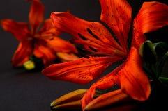 Κόκκινος, πορτοκαλής κρίνος Στοκ εικόνες με δικαίωμα ελεύθερης χρήσης