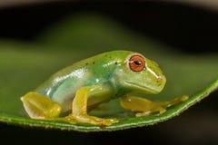 Κόκκινος πράσινος βάτραχος ματιών Στοκ Εικόνα
