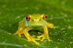 Κόκκινος πράσινος βάτραχος ματιών Στοκ εικόνες με δικαίωμα ελεύθερης χρήσης