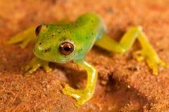 Κόκκινος πράσινος βάτραχος ματιών Στοκ εικόνα με δικαίωμα ελεύθερης χρήσης