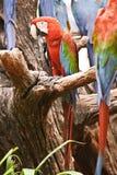 Κόκκινος-πράσινος-μπλε araruana Ara Στοκ Εικόνες