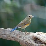 Κόκκινος-πλαισιωμένο θηλυκό Bluetail στοκ εικόνες με δικαίωμα ελεύθερης χρήσης