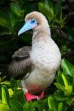 Κόκκινος-πληρωμένος γκαφατζής στο νησί Genovesa, Galapagos εθνικό πάρκο, ΕΚ στοκ φωτογραφίες με δικαίωμα ελεύθερης χρήσης