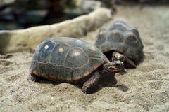 Κόκκινος-πληρωμένος tortoises στοκ εικόνα