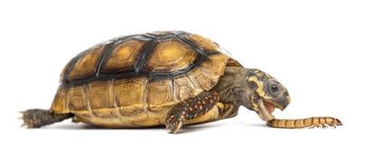 Κόκκινος-πληρωμένος tortoises, carbonaria Chelonoidis, eati στοκ εικόνα
