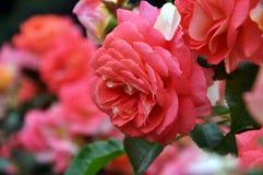 Κόκκινος ρόδινος αυξήθηκε οριζόντια εκλεκτική εστίαση Τρυφερότητα, πάθος, ζεύγος αγάπης, σχέσεις διάρκειας ζωής, ημέρα βαλεντίνων Στοκ Φωτογραφία