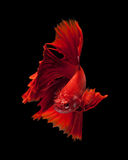 κόκκινος σιαμέζος ψαριών &p Στοκ Φωτογραφία