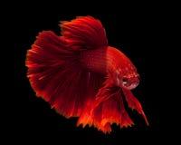 κόκκινος σιαμέζος ψαριών &p Στοκ Εικόνες