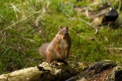 Κόκκινος σκίουρος από το Γιορκσάιρ στοκ εικόνα