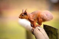 Κόκκινος σκίουρος κοιτάζοντας μπροστά με τα φουντωτά αυτιά Στοκ εικόνες με δικαίωμα ελεύθερης χρήσης