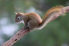 κόκκινος σκίουρος κλάδ& Στοκ Εικόνα