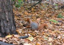 Κόκκινος σκίουρος με τα ξύλα καρυδιάς Στοκ εικόνα με δικαίωμα ελεύθερης χρήσης