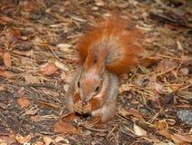 Κόκκινος σκίουρος με τα ξύλα καρυδιάς Στοκ φωτογραφίες με δικαίωμα ελεύθερης χρήσης