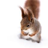 Κόκκινος σκίουρος με τη χνουδωτή ουρά που στέκεται στο άσπρο χιόνι Στοκ Εικόνες