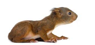 Κόκκινος σκίουρος μωρών Στοκ Φωτογραφίες