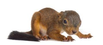 Κόκκινος σκίουρος μωρών Στοκ φωτογραφία με δικαίωμα ελεύθερης χρήσης