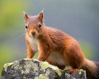 Κόκκινος σκίουρος, περιοχή λιμνών, UK Στοκ φωτογραφία με δικαίωμα ελεύθερης χρήσης