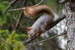 Κόκκινος σκίουρος που καθαρίζει τα δόντια του Στοκ Φωτογραφίες