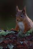 Κόκκινος σκίουρος που στηρίζεται στον κλάδο του δέντρου πεύκων Στοκ Φωτογραφία