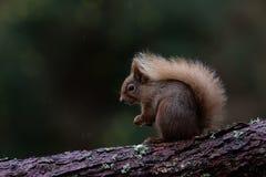 Κόκκινος σκίουρος που στηρίζεται στον κλάδο του δέντρου πεύκων Στοκ Εικόνες