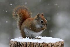 Κόκκινος σκίουρος που τρώει τους σπόρους Στοκ φωτογραφίες με δικαίωμα ελεύθερης χρήσης