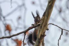 Κόκκινος σκίουρος σε έναν κλάδο δέντρων, δασικός σκίουρος Sciurus φθινοπώρου vulgaris στοκ εικόνα με δικαίωμα ελεύθερης χρήσης