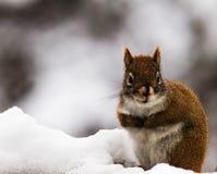 Κόκκινος σκίουρος σε έναν σωρό του χιονιού Στοκ Φωτογραφίες