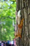 Κόκκινος σκίουρος σε ένα δέντρο στο πάρκο στοκ φωτογραφίες