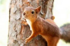 Κόκκινος σκίουρος στη φύση Στοκ φωτογραφία με δικαίωμα ελεύθερης χρήσης