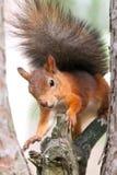 Κόκκινος σκίουρος στη φύση Στοκ φωτογραφίες με δικαίωμα ελεύθερης χρήσης