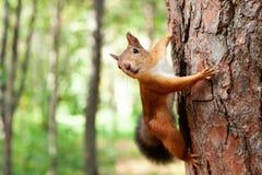 Κόκκινος σκίουρος στη φύση Στοκ Εικόνα