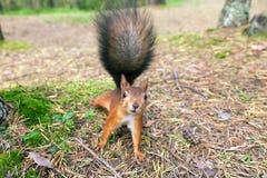 Κόκκινος σκίουρος στη φύση Στοκ Φωτογραφία