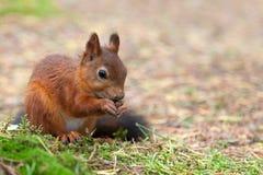 Κόκκινος σκίουρος στη φύση Στοκ εικόνα με δικαίωμα ελεύθερης χρήσης