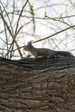 Κόκκινος σκίουρος στον κορμό δέντρων, δασικός σκίουρος Sciurus vulgaris στοκ εικόνα