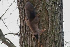 Κόκκινος σκίουρος στον κορμό δέντρων, δασικός σκίουρος Sciurus vulgaris στοκ φωτογραφία