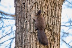 Κόκκινος σκίουρος στον κορμό δέντρων, δασικός σκίουρος Sciurus vulgaris στοκ εικόνες με δικαίωμα ελεύθερης χρήσης