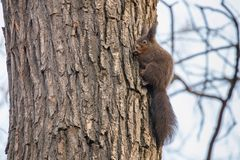 Κόκκινος σκίουρος στον κορμό δέντρων, δασικός σκίουρος Sciurus vulgaris στοκ φωτογραφίες με δικαίωμα ελεύθερης χρήσης