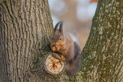 Κόκκινος σκίουρος στον κορμό δέντρων, δασικός σκίουρος Sciurus vulgaris στοκ φωτογραφία με δικαίωμα ελεύθερης χρήσης