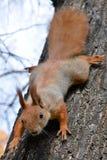 Κόκκινος σκίουρος στο δέντρο μέσα Στοκ φωτογραφία με δικαίωμα ελεύθερης χρήσης