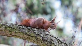 Κόκκινος σκίουρος στο δάσος, εκτίμηση, προσεκτική στοκ εικόνες