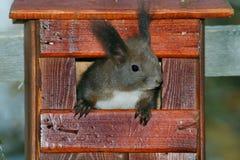 Κόκκινος σκίουρος στο κιβώτιο φωλιών Στοκ εικόνα με δικαίωμα ελεύθερης χρήσης