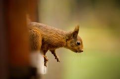 Κόκκινος σκίουρος στο παράθυρο Στοκ Φωτογραφία