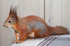 Κόκκινος σκίουρος στο σπίτι Στοκ Φωτογραφίες