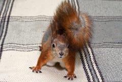 Κόκκινος σκίουρος στο σπίτι Στοκ Εικόνες