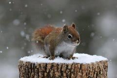 Κόκκινος σκίουρος στο χειμερινό χιόνι Στοκ εικόνα με δικαίωμα ελεύθερης χρήσης