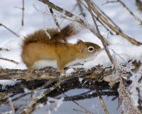 Κόκκινος σκίουρος στο χιόνι Στοκ εικόνα με δικαίωμα ελεύθερης χρήσης