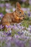 Κόκκινος σκίουρος την άνοιξη στοκ εικόνες
